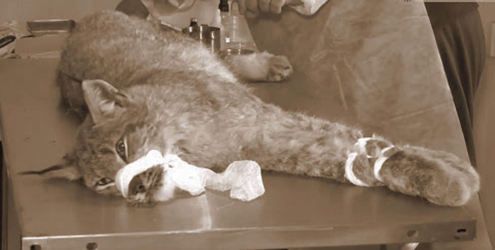 Кошка после родов мяукает: причины беспокойства