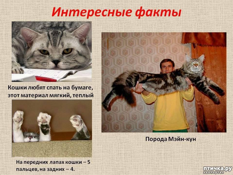 Интересные факты о домашних и диких кошках и котах: все о здоровье, поведении маленького котёнка и взрослого питомца, рекорды и прочее