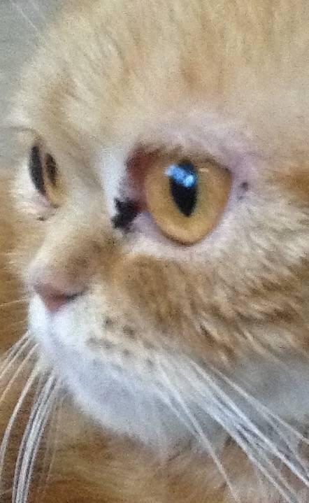 У кошки из глаз коричневые выделения: нормальные выделения, патологические, симптоматика глазных болезней, лечение