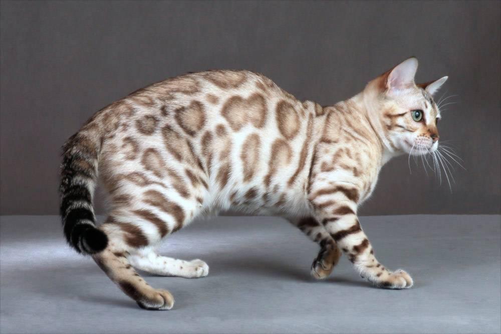 Азиатская табби —  фото кошки, цена котят, характер, история, отзывы, уход и содержание кошки с чудным окрасом