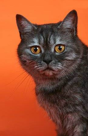 Окрасы британских кошек: фото и описание.