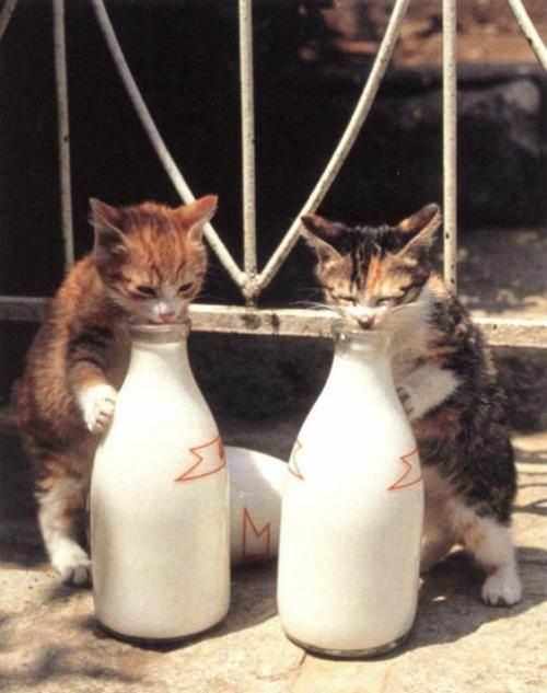 Можно ли кошкам давать молоко: преимущества козьего и коровьего молока