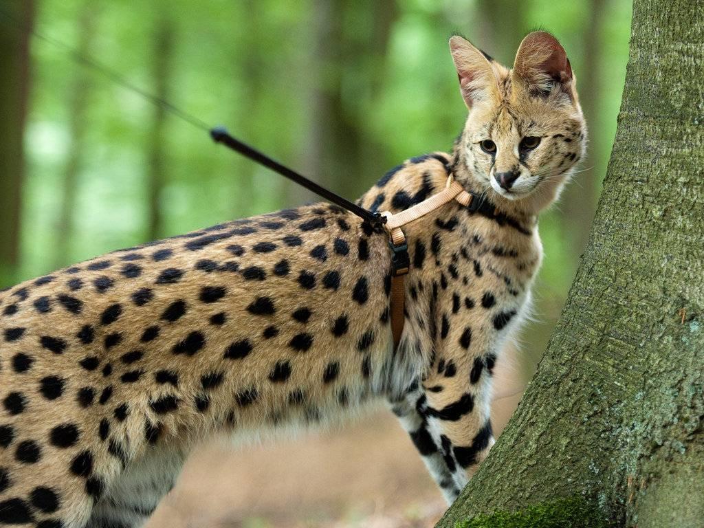 Африканская кошка сервал. уход и цена — мир африки