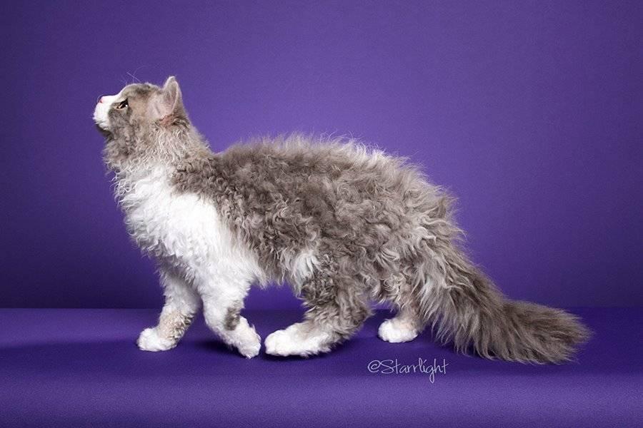Все о кудрявых кошках