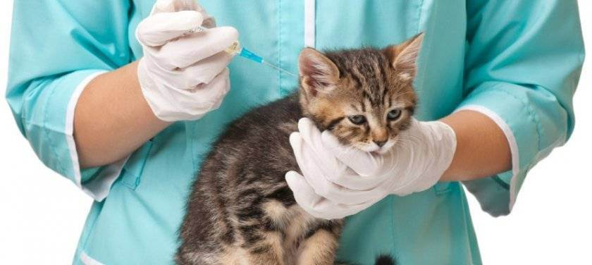 Прививки котятам в первый раз