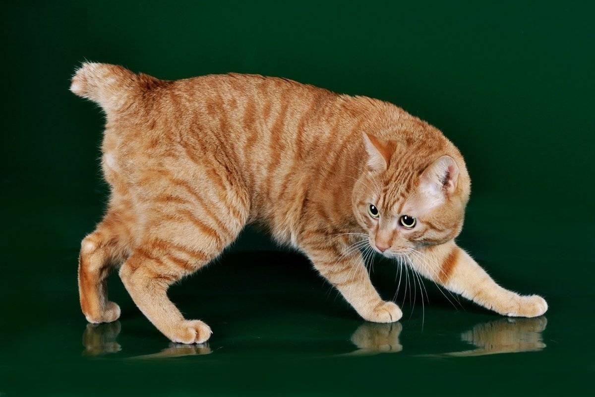 ᐉ 8 пород кошек без хвоста: описание и характеристики, фото - kcc-zoo.ru