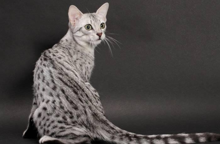 Египетская мау - порода кошек - информация и особенностях | хиллс
