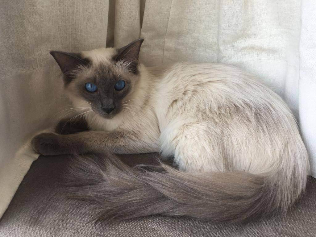 Балинезийская кошка: описание породы, характер, содержание и уход