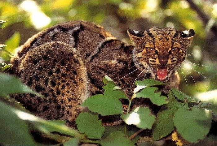 Дикие кошки: фото и описание разновидностей, жизнь в природе, самые красивые, крупные и мелкие виды