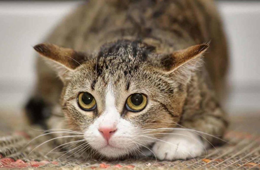 Почему кот орет и прыгает на стену