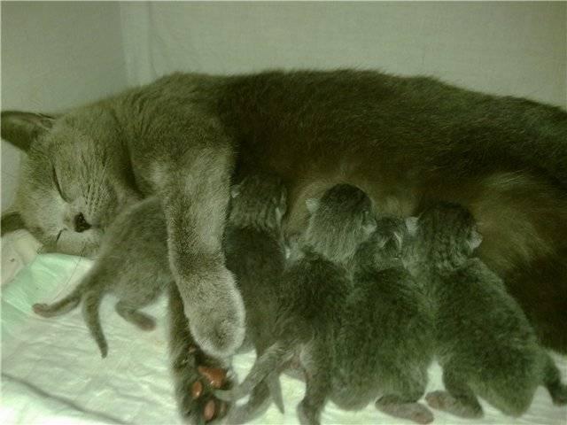Сколько котят рожает кошка: всё о кошачьей беременности от а до я. ваша кошка «в положении» — сколько может родить молодая кошка
