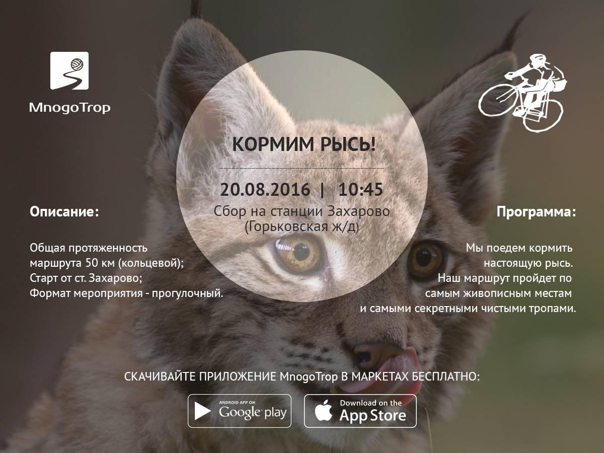Домашняя рысь породы кошек характер и особенности ухода