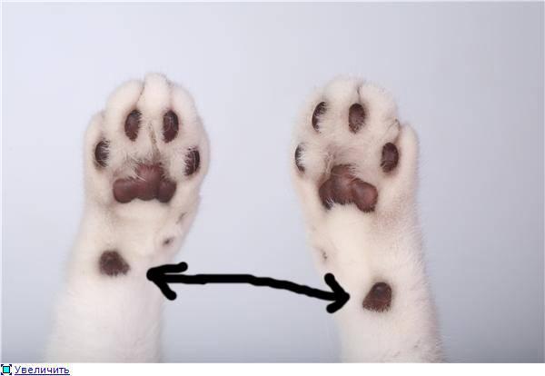 Что такое полидактилия и как ее лечить у кошекветлечебница рос-вет