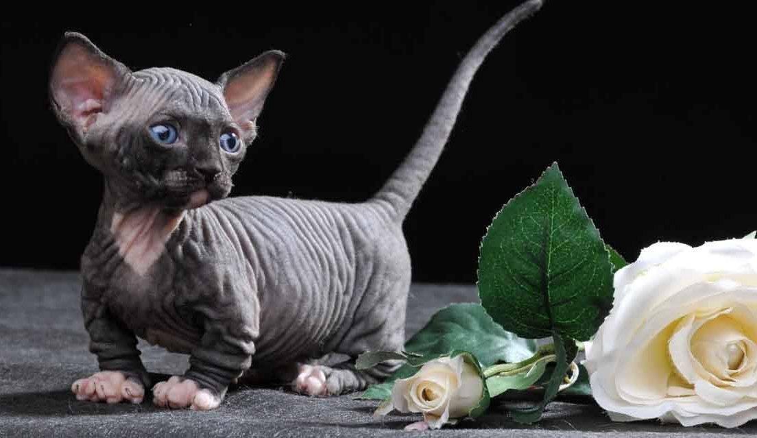 Бамбино кошка: стандарт породы, уход, кормление, цена