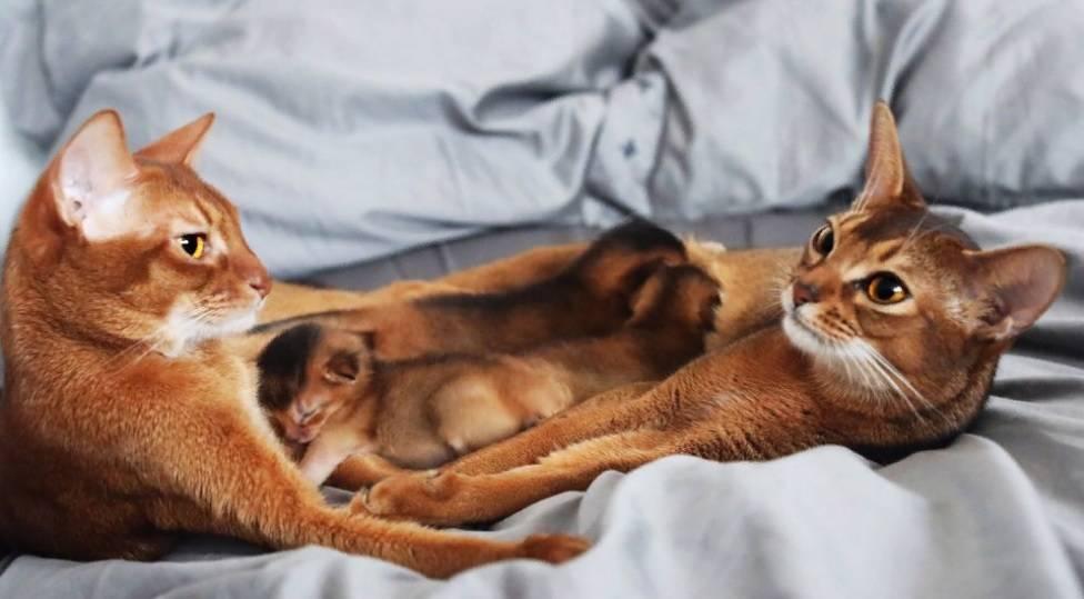Абиссинская кошка - 88 фото грациозной и очень древней породы