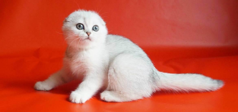 Кастрация шотландского прямоухого кота - запись пользователя мари (mariazazulina) в сообществе домашние животные в категории кошки. болезни, прививки, советы по уходу - babyblog.ru