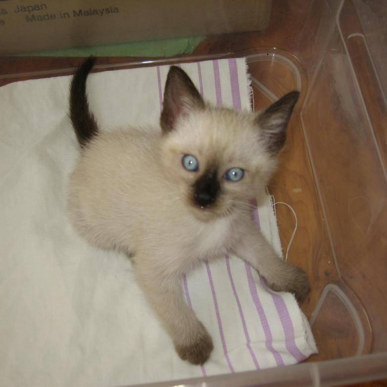 Сколько стоят кошки породы русская голубая