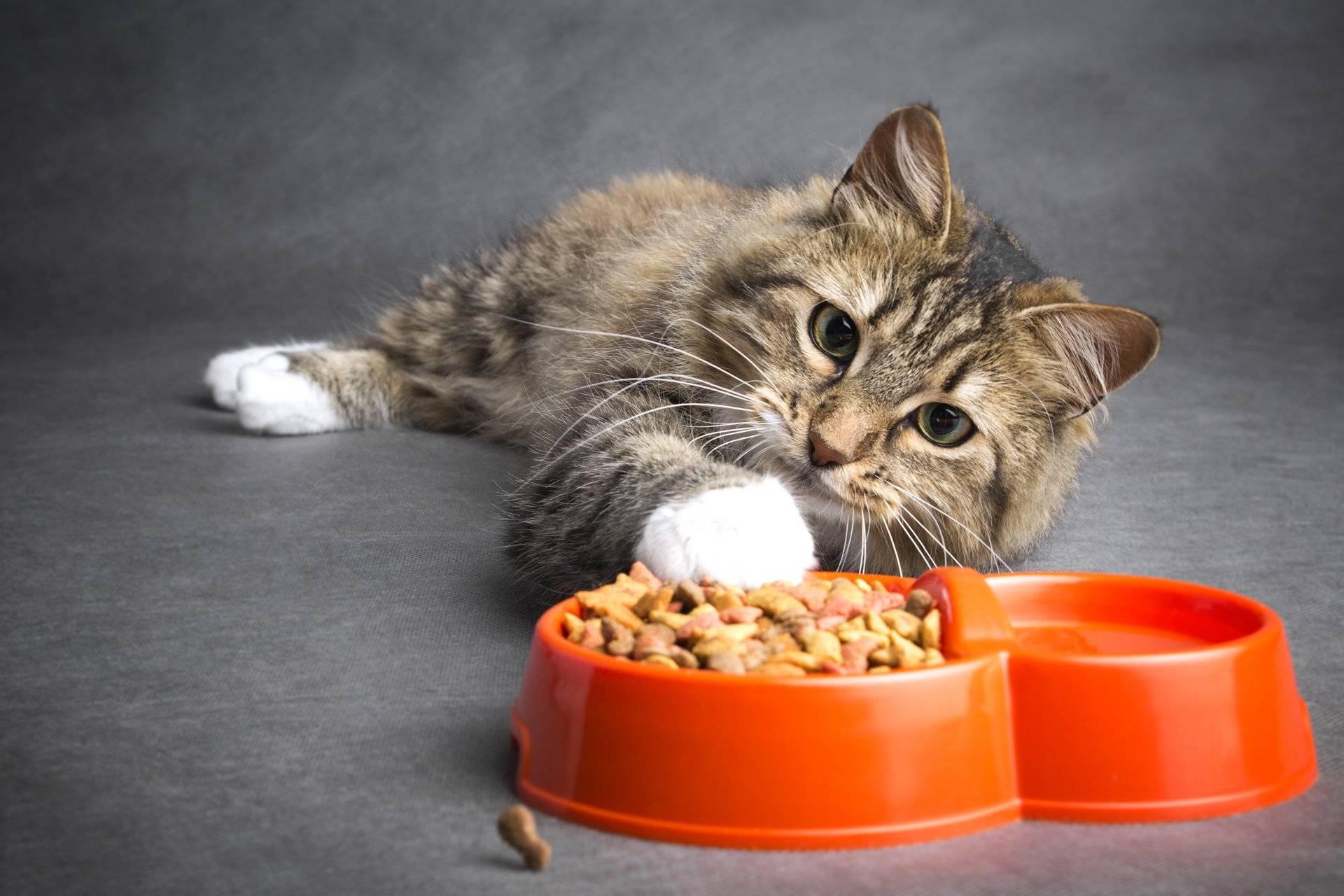 Все мы не раз видели, как кошка или кот закапывает миску с едой — разберёмся, почему кошки и коты закапывают еду