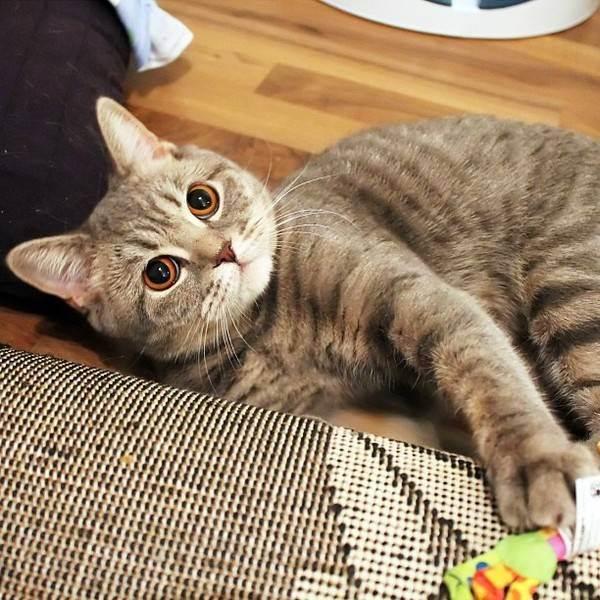 Кота рвёт если это из за шерсти что делать