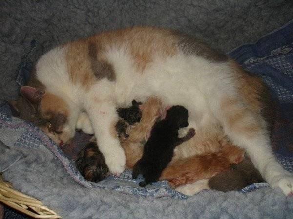 Сколько котят рожает кошка: всё о кошачьей беременности от а до я. ваша кошка «в положении» - сколько может родить молодая кошка - автор екатерина данилова - журнал женское мнение