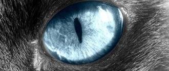 Помутнение глаза у кота: причины, методы диагностики, лечение