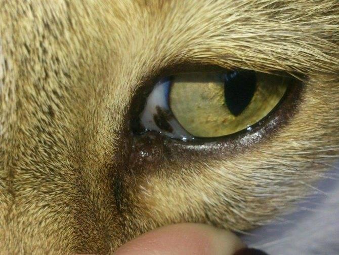 У кота побелел глаз