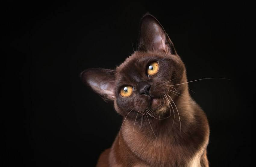 Бурманская порода кошек: описание-40 фото всех окрасов-котята