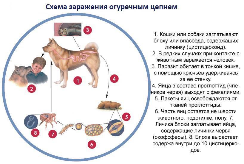Огуречный цепень у кошек: признаки заражения глистами, способы лечения и опасность дипилидиоза для человека