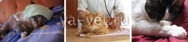 Воспаление легких у кошек - симптомы, лечение, препараты, причины появления   наши лучшие друзья