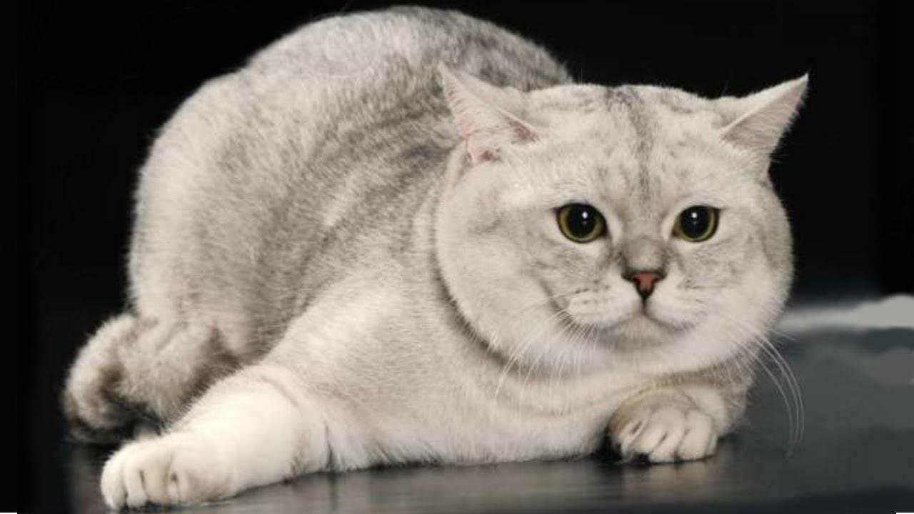 Шотландская вислоухая кошка: характер, описание породы, чем кормить, как выбрать котенка, фото, как назвать шотландца