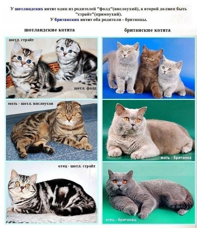 Самые опасные коты в мире: породы и описания