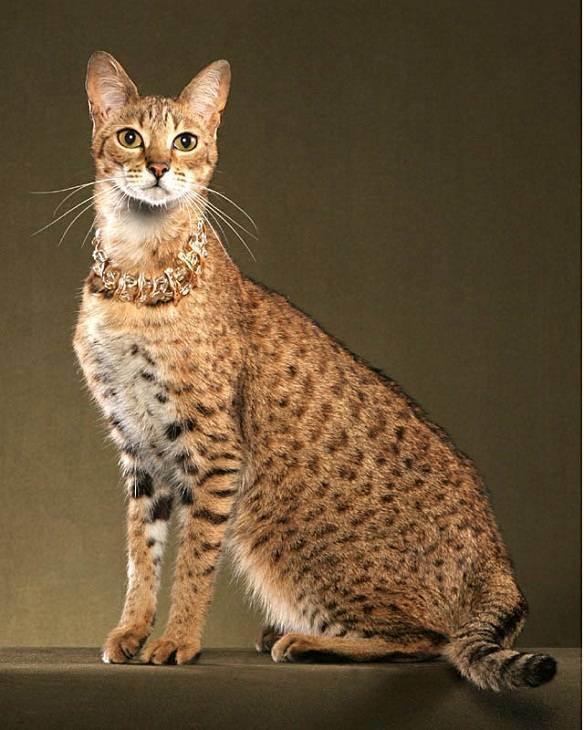 Самая дорогая кошка. топ-10 кошек по стоимости