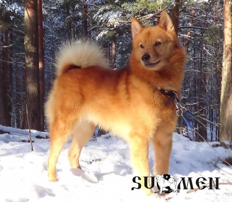 Карело-финская лайка: отважный охотник с преданным сердцем и яркой внешностью
