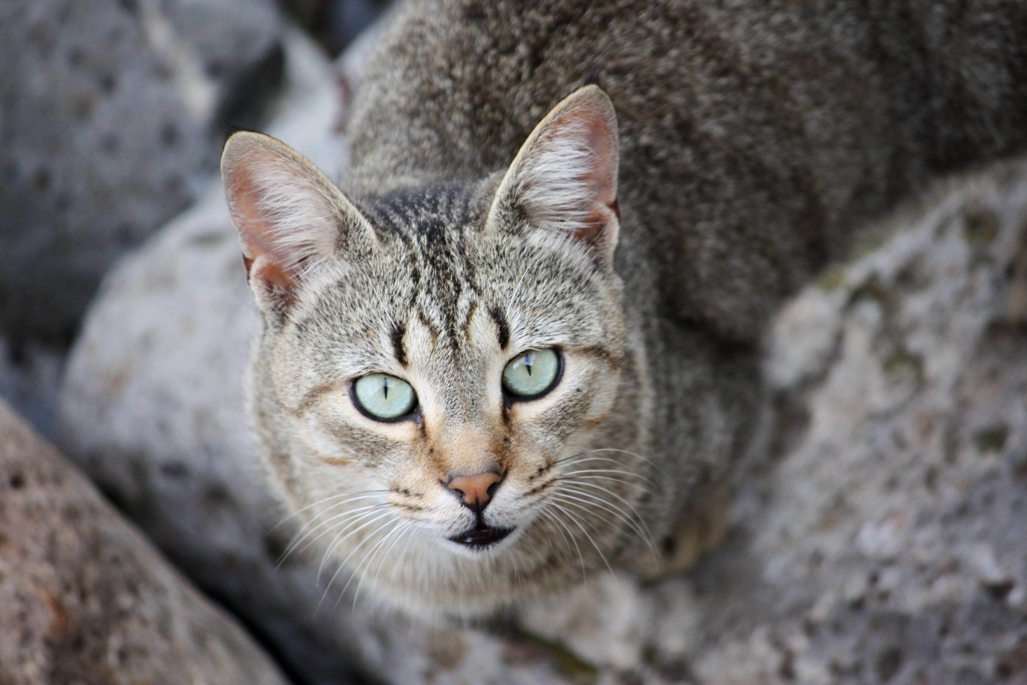 Горная китайская кошка