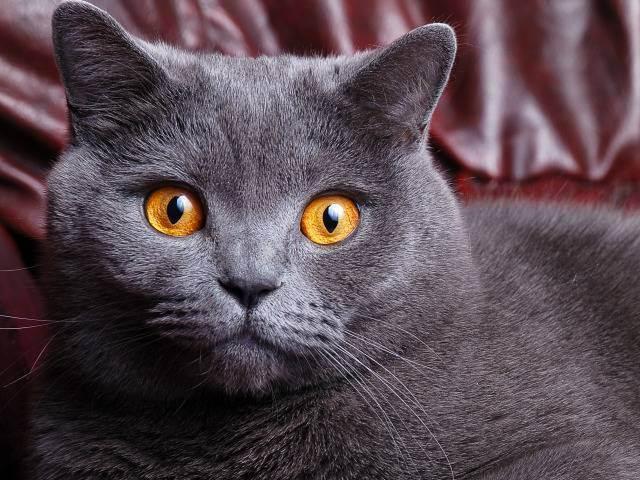 Британская короткошерстная кошка: характеристика породы и особенности ухода