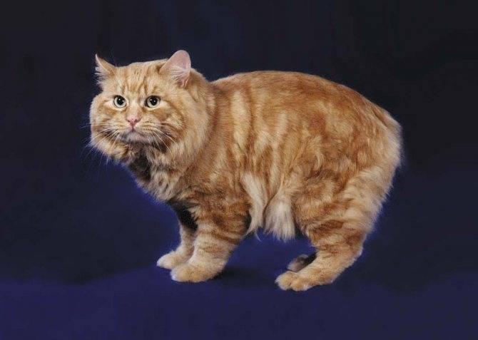 Международные стандарты кошек породы мэнская бесхвостая