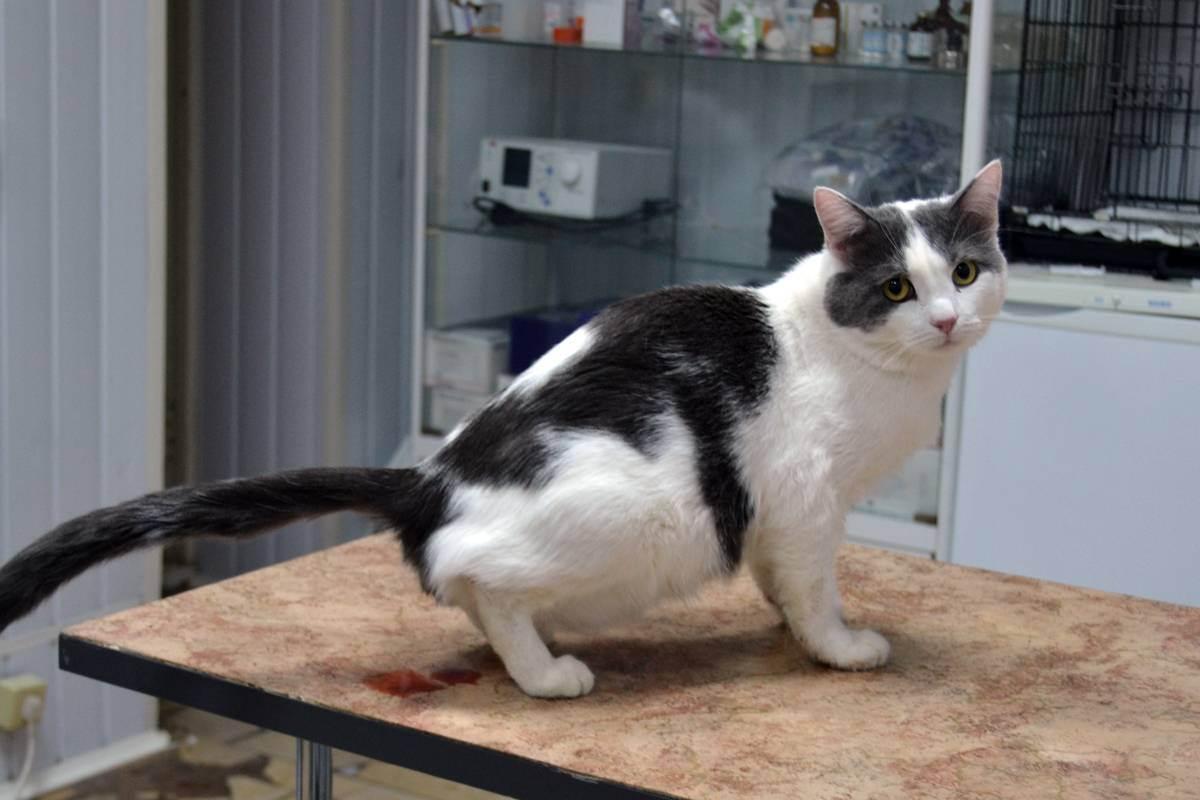 Цистит у кошек - причины, симптомы и лечение