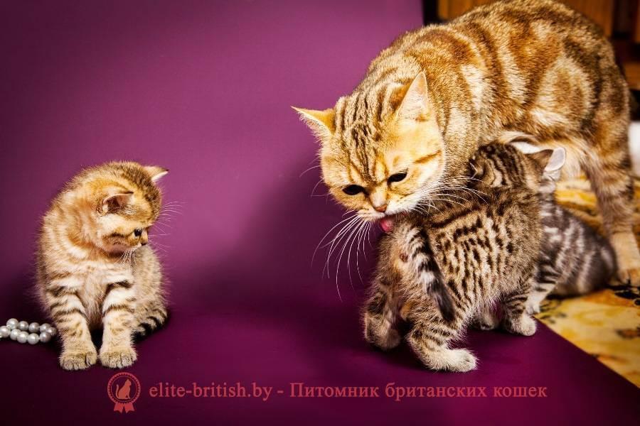 Выбор британского котенка