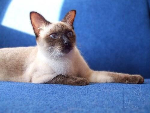 Тайские кошки окраса сил-тебби-пойнт