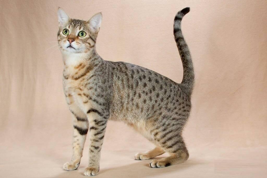 Египетская мау- кошка с древней историей