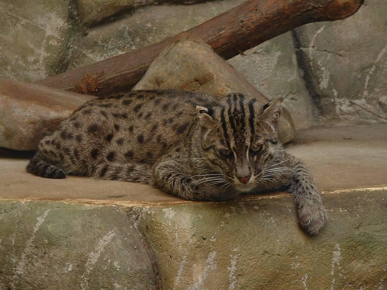 Виверровый кот-рыболов: фото, цена, описание породы, видео виверровый кот-рыболов: фото, цена, описание породы, видео