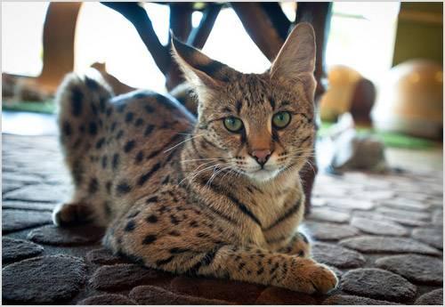 Саванна (66 фото): описание котов породы саванна, особенности характера котят и размеры. содержание больших кошек