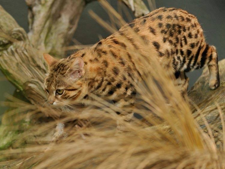 Черноногая кошка или африканский дикий кот: как выглядит, где обитает, чем питается, сколько стоит