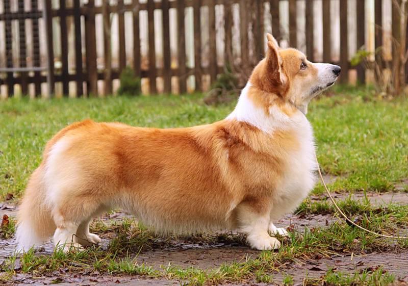 Черный вельш-корги: фото собак, какие бывают разновидности окраса, считается ли масть стандартом породы и как выбрать щенка