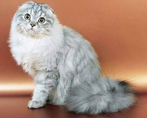 Хайленд-фолд: история, характер, фото | кот и кошка