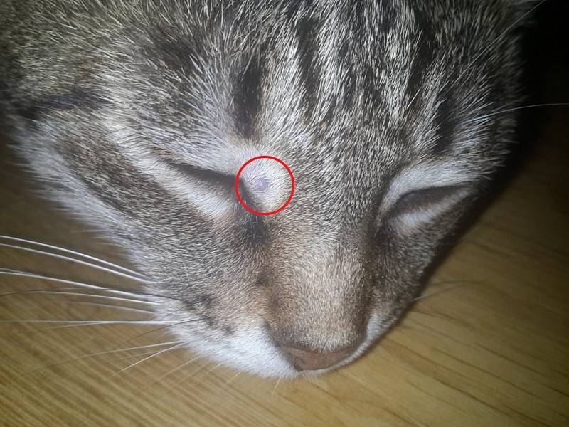 Что делать, если у кота шишка на головеу кота?