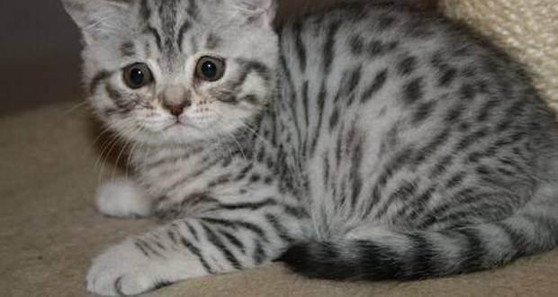 Беременность кошки: как определить признаки? сколько длится беременность у кошек?