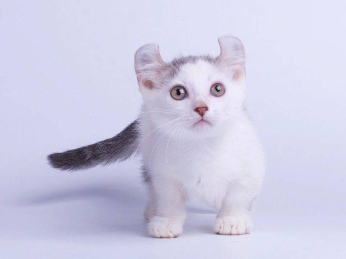 Самые маленькие кошки в мире, маленькие породы кошек с фото и названиями