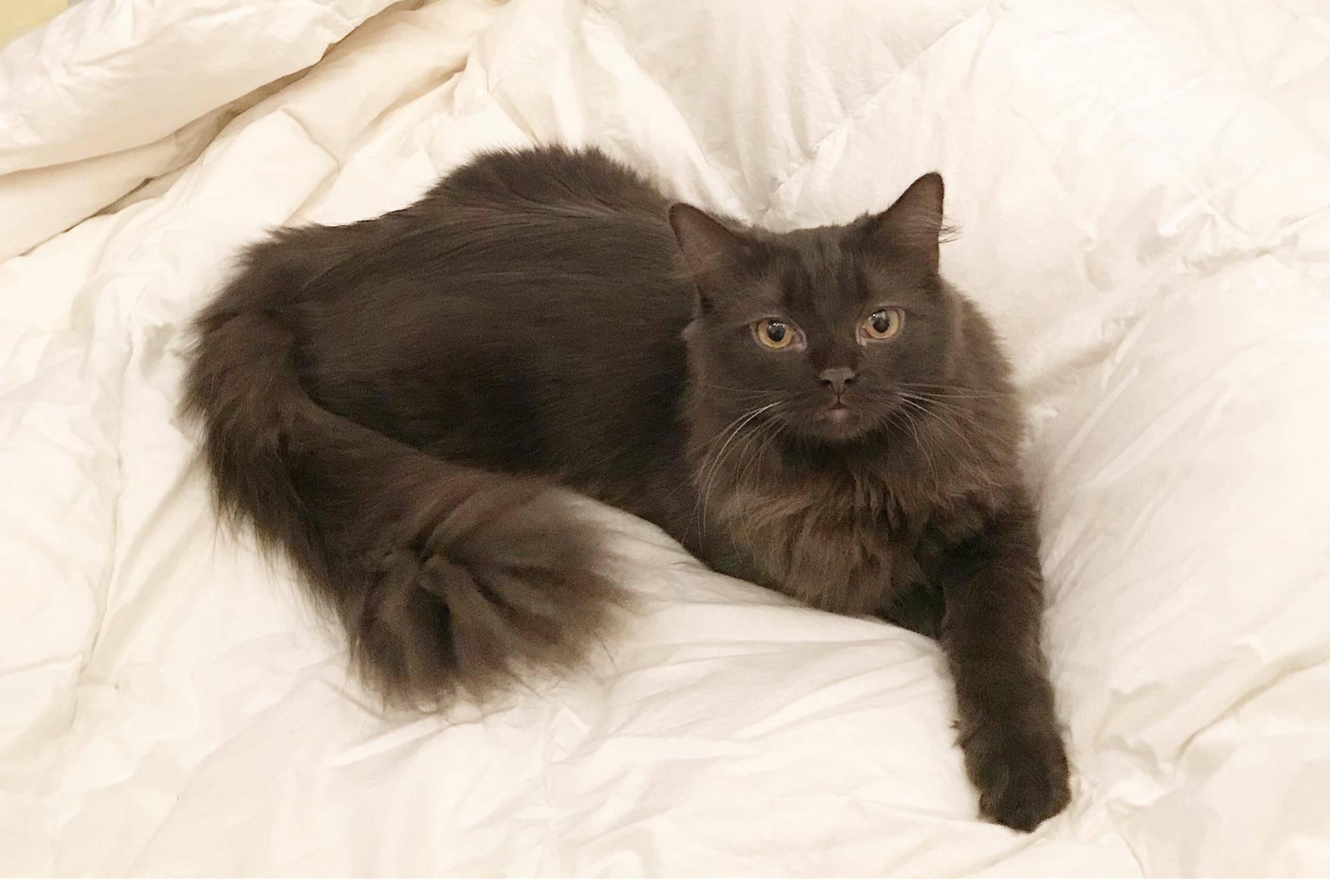 Кошка сноу-шу: характер и внешность питомца, правила ухода и содержания