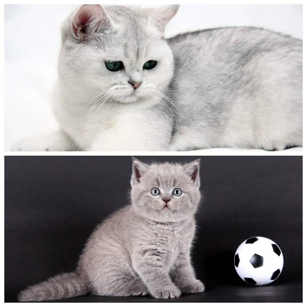 История породы шотландских вислоухих и прямоухих кошек